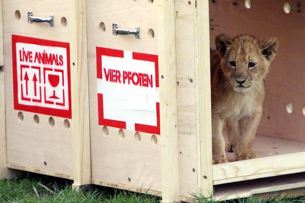 幼獅一出生就會被帶離母親身邊,這一方面是要強行終止母獅的育嬰狀態、二方面是一邊讓...