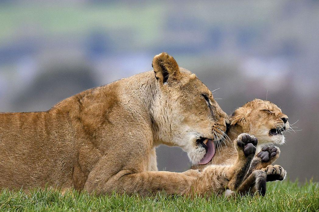 南非的養殖獅子經濟鏈,又被保育團體與國際社會稱作為「血獅子」(Blood Lio...