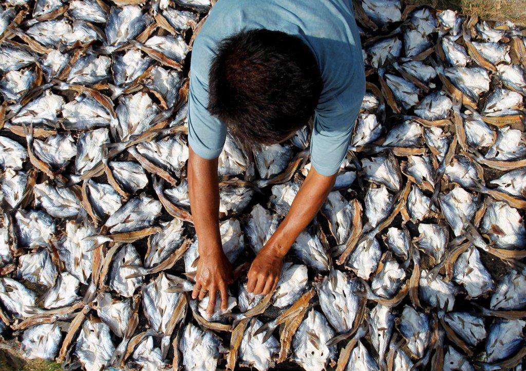 到了13世紀,鯡魚開採已經到達龐大的商業規模。 圖/路透社