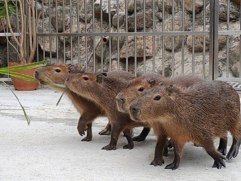四隻可愛的水豚寶寶進駐綠舞日式園區。 綠舞/提供
