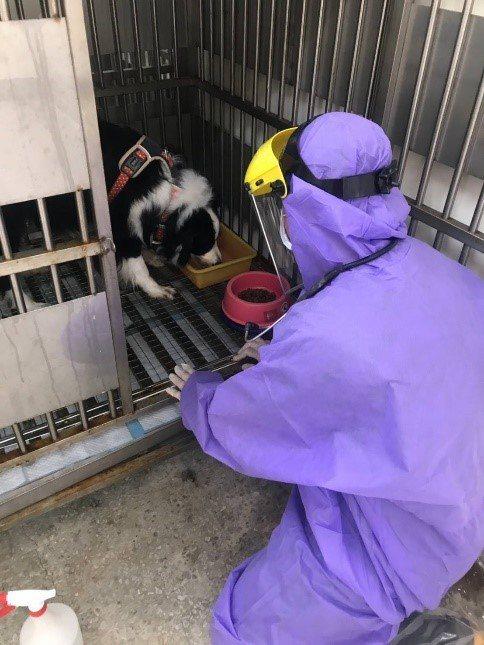 動保處獲報後,將邊境牧羊犬帶回照料,預計隔離14天無異狀後,將由其親友帶回飼養。圖/新北市動保處提供