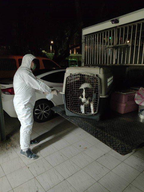動保處人員隨即穿著防護衣,以運輸籠將邊境牧羊犬帶回隔離。圖/新北市動保處提供