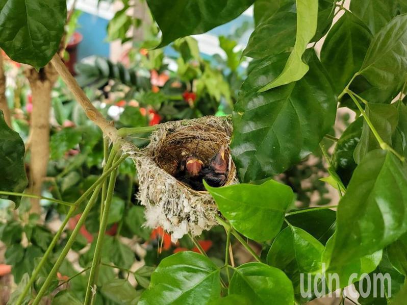 南投縣埔里鎮公所室外陽台有綠繡眼在幸福樹盆栽上築巢育雛。圖/讀者提供