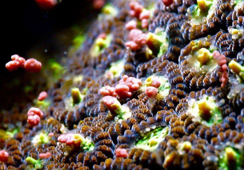 「媽祖生」前後是珊瑚排精釋卵繁殖子代高峰期,圖為墾丁海域環菊珊瑚大量釋出粉紅色的卵。圖/讀者提供