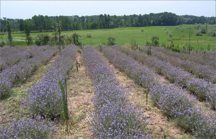 印度農民為了因應乾旱,從玉米改種薰衣草,引發一場「紫色革命」。 圖/整合醫學研究...