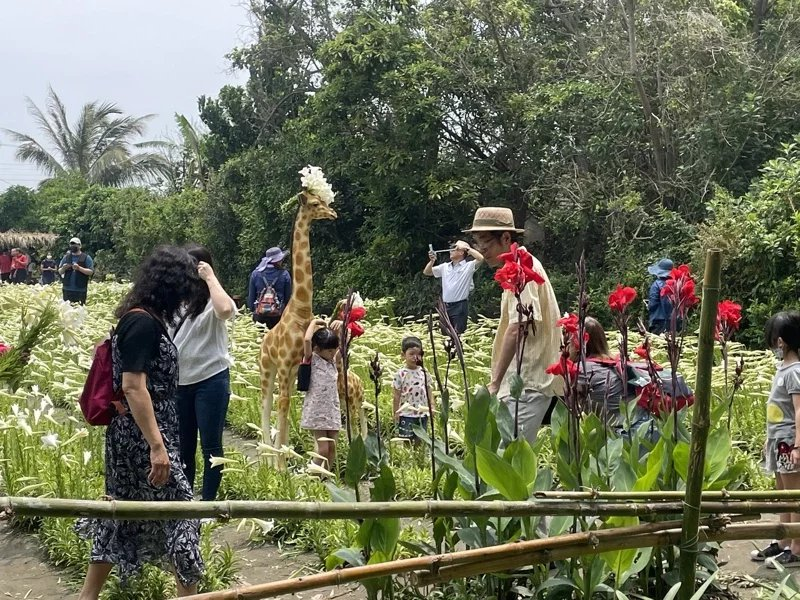 百合花園主人吳國祥在花田裡擺設一隻長頸鹿裝置,除了雪白的百合花,它也成了遊客的最...