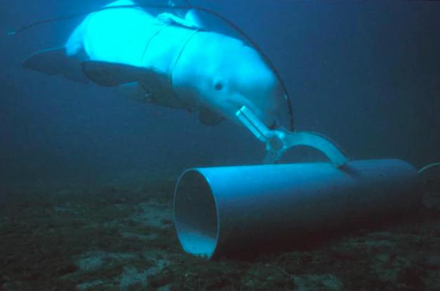 美國海軍訓練一隻白鯨針對海底目標物做記號。圖/取自PETTY OFFICER FIRST CLASS BRIAN AHO, U.S. NAVY
