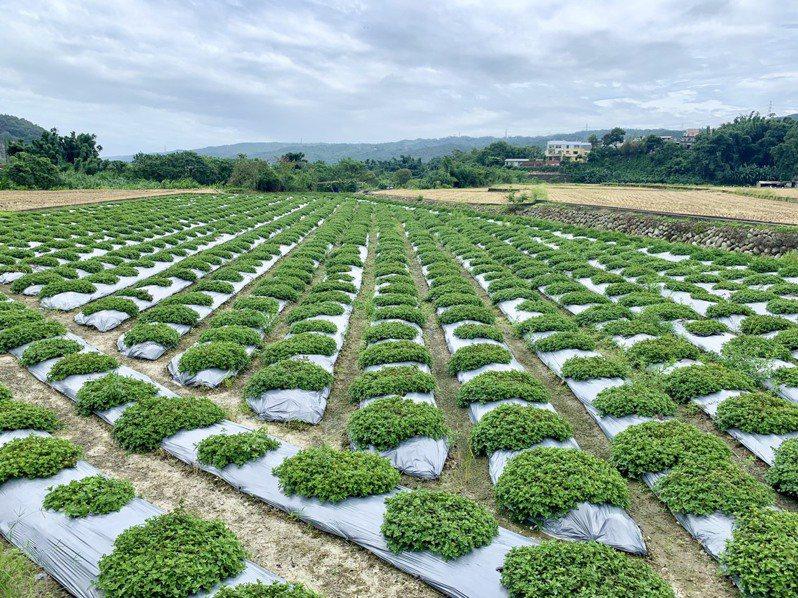 新竹縣關西鎮盛產仙草,目前種植的仙草面積近80公頃,年產量約600公噸。記者陳斯穎/攝影