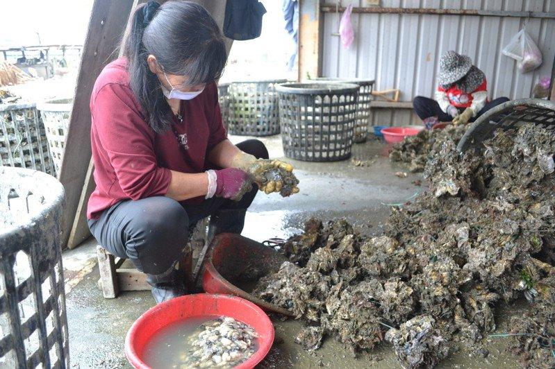 台南沿海牡蠣採收進入尾聲,蚵農大吐苦水,指今年收成最差。記者鄭惠仁/攝影