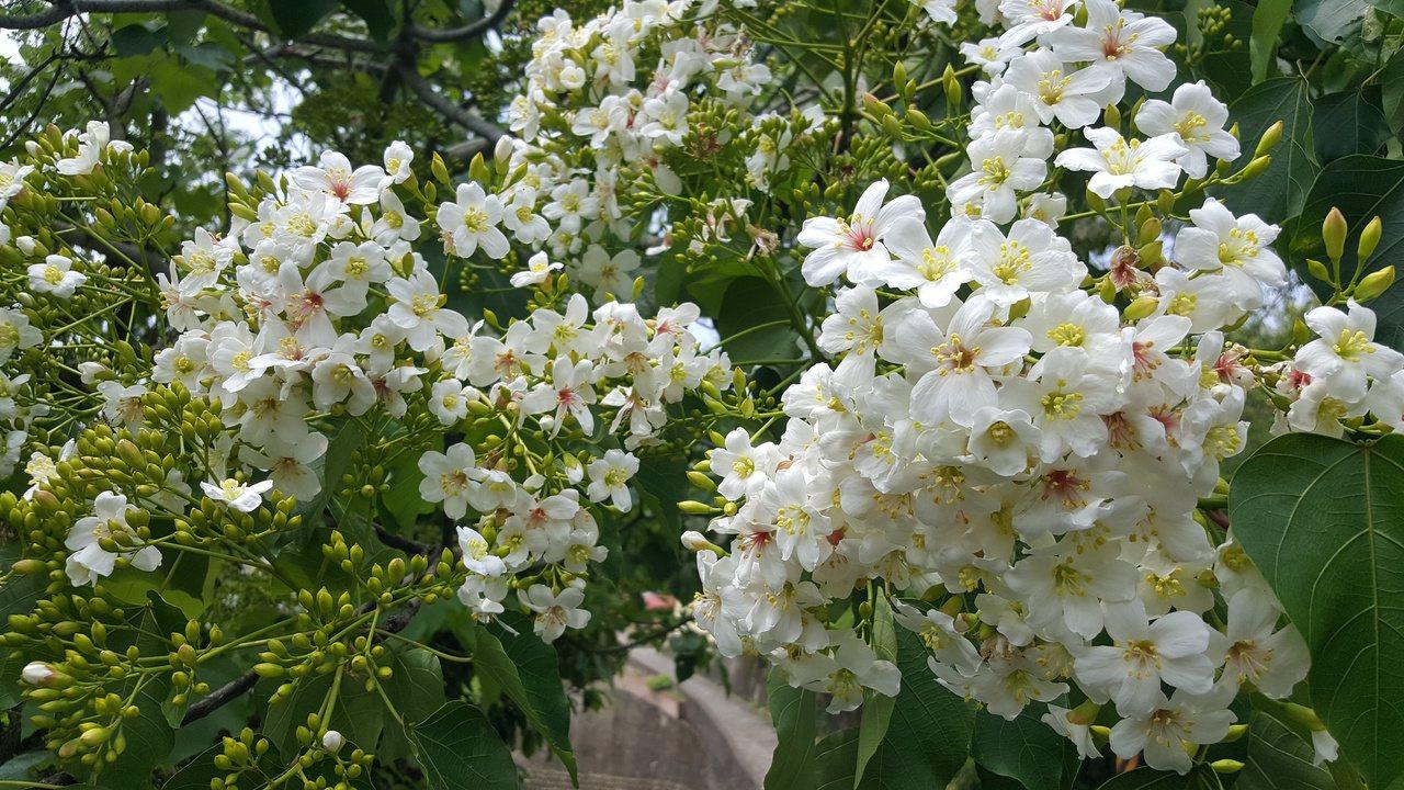 美麗的油桐花。 圖/胡蓬生 攝影
