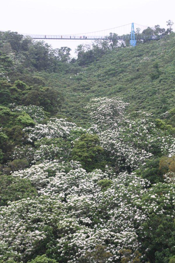 苗栗縣銅鑼鄉九湖台地天空步道吊橋,可眺望山谷裡的似雪桐花。 圖/胡蓬生 攝影