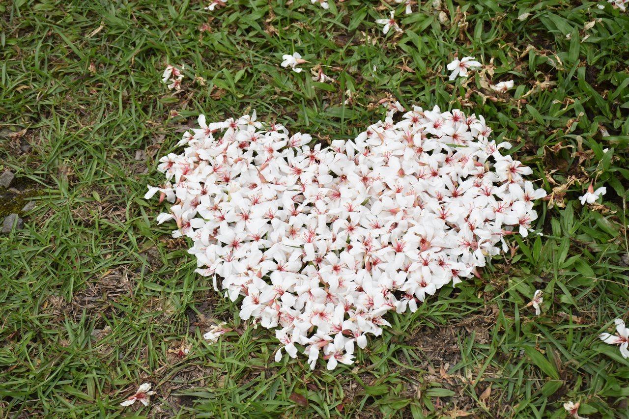 花蓮南華林業園區桐花掉落,有遊客將桐花排成愛心圖案,可愛又浪漫。 圖/王思慧 攝...