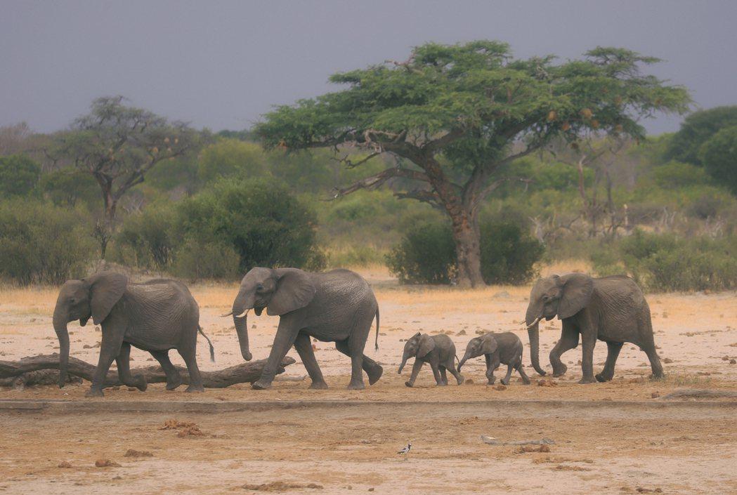 2019年,大象在辛巴威的萬蓋國家公園尋找水源。 圖/美聯社