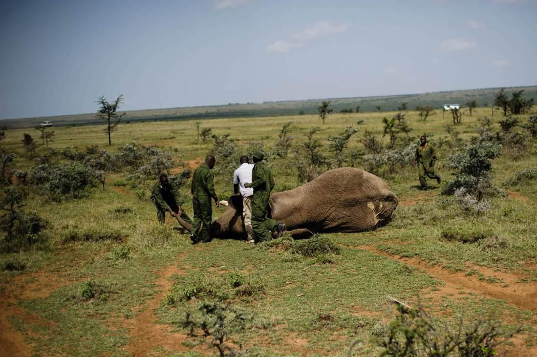 人象衝突後被麻醉要移出區域的大象。 圖/法新社
