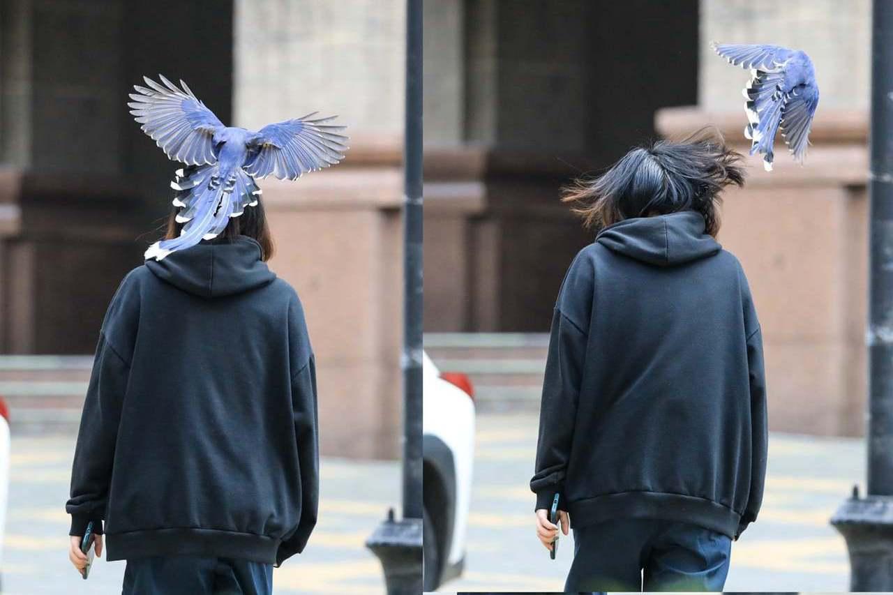 台灣藍鵲「偷襲」文大學生後腦勺 師讚:被國寶打到值得炫耀
