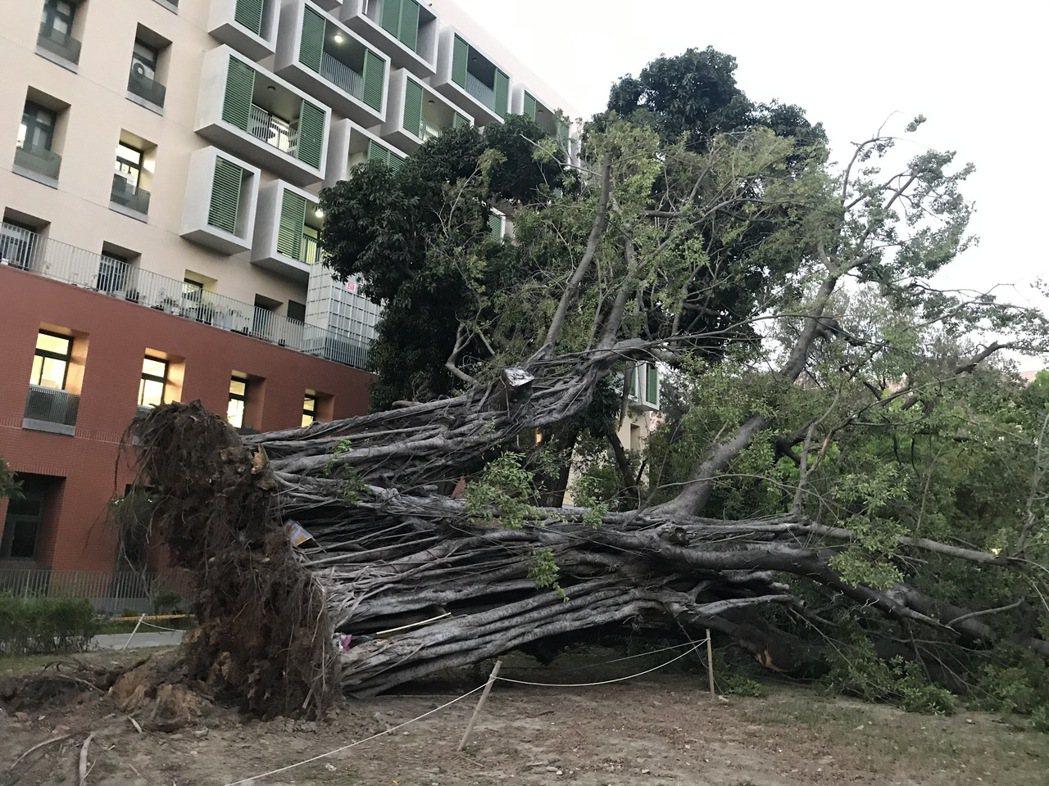 成大成功校區一棵列管老樹昨天下午轟然倒地,根部腐爛嚴重。圖/讀者提供