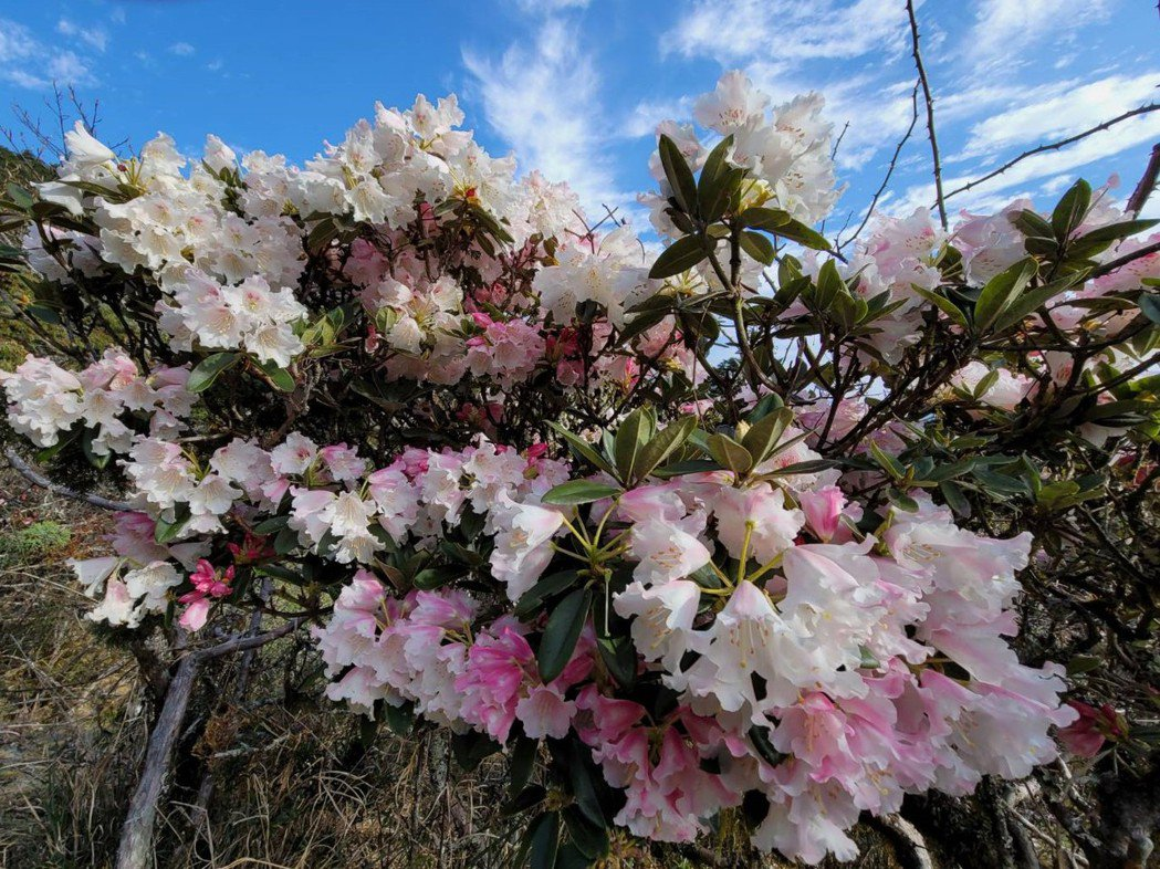 合歡山杜鵑今年花況佳,但也引爆賞花人潮車流。圖/讀者提供