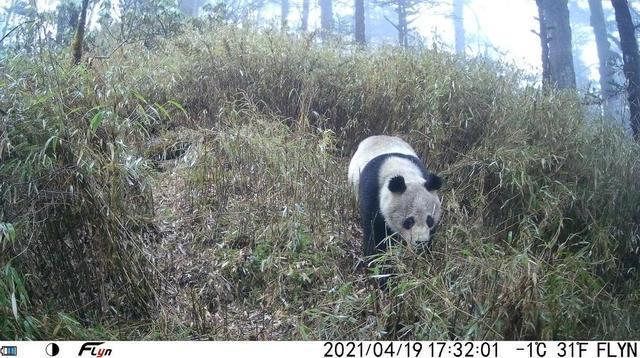 四川臥龍阿壩大熊貓國家公園研究出貓臉識別技術,為每隻野生大熊貓建立戶口檔案。圖源...