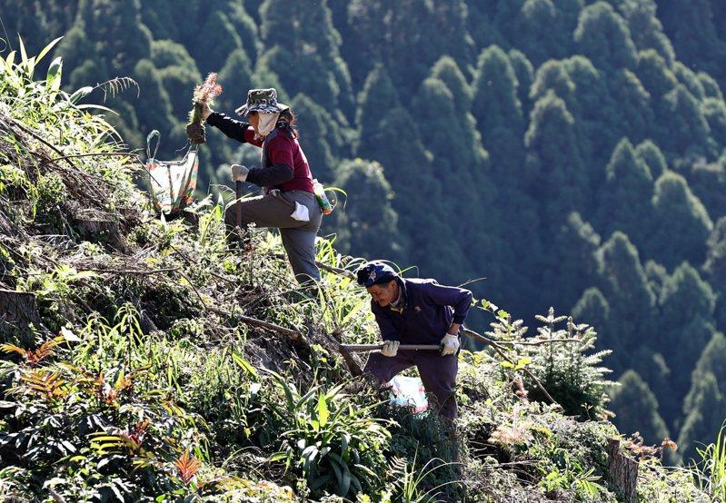 台灣林業凋零30年,伐木、種苗等林業現場都是高齡工班。記者侯永全/攝影