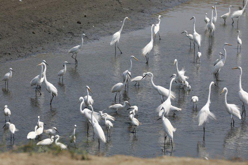 高雄彌陀一處魚塭曬池,許多大白鷺和小白鷺飛來覓食。記者林奐成/攝影