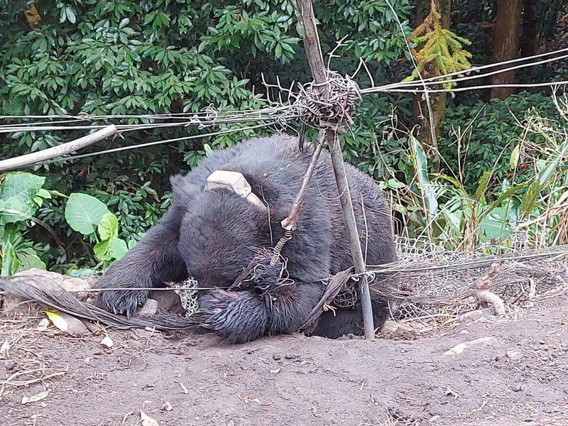 2020年10月1日台中黑熊救援。圖/特生中心提供(詹芳澤攝)