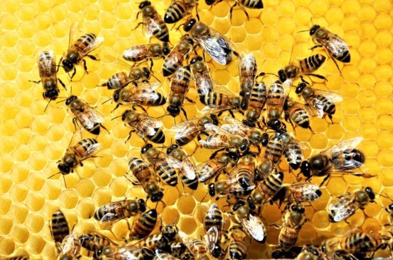 蜜蜂飛行距離半徑3公里,不會迷路也不會跑錯家,從守衛、餵養蜂后和幼子,到採花粉、...