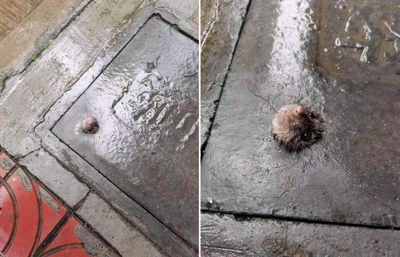 有網友在路邊地上看到一隻老鼠想鑽出鐵板,無奈洞太小卡住。 圖/翻攝自「爆廢公社」