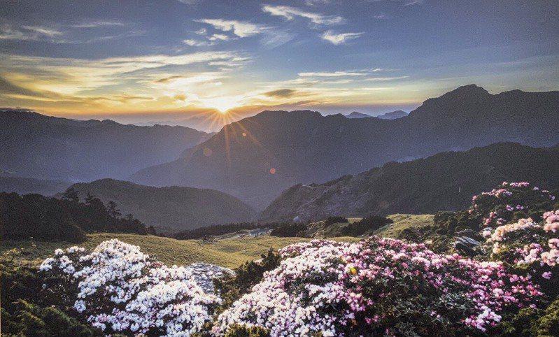 合歡山高山杜鵑今年盛開,紅、粉紅、白色花海讓山頭色彩繽紛,吸引許多遊客上山賞花。圖/仁愛警分局提供