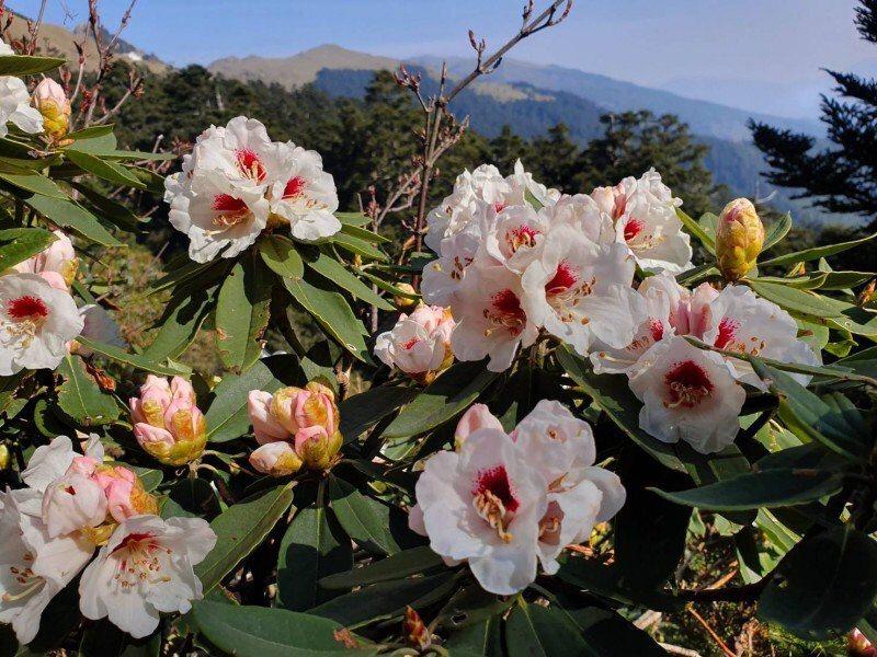 合歡山高山杜鵑今年盛開,紅、粉紅、白色花海讓山頭色彩繽紛,吸引許多遊客上山賞花。...