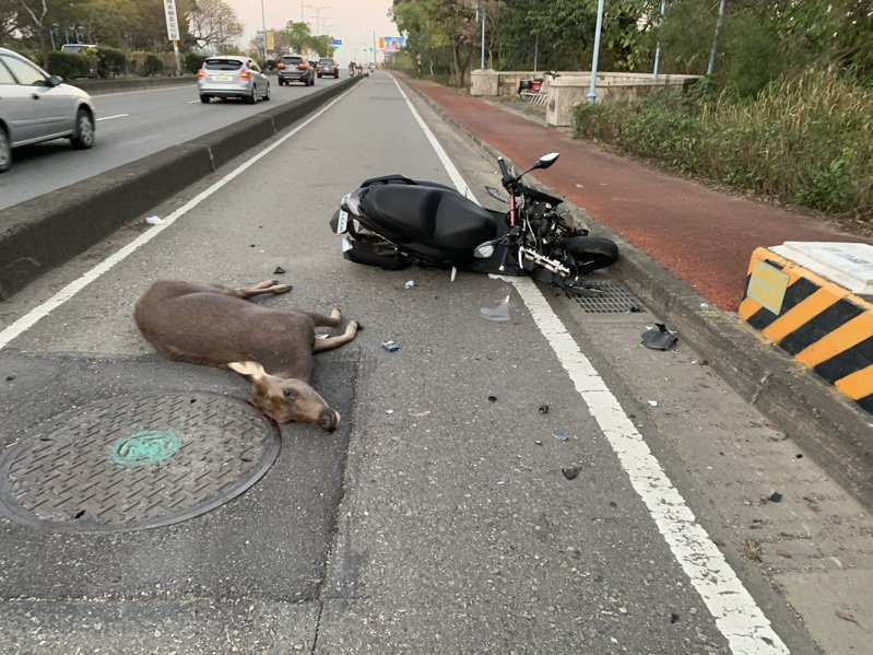 彰化市東外環4.5公里往台中方向,今年元月傍晚,發生一隻突然竄出的水鹿,遭2輛汽車與1輛機車因閃避不及而撞上,水鹿當場死亡,其中一輛機車人車倒地,騎士全身多處挫傷,送醫無大礙。圖/警方提供