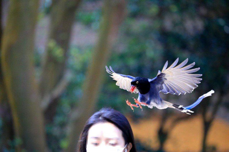 每年三至七月是台灣藍鵲繁殖期,由於護巢行為明顯,近來文大有不少學生遭「空襲」。圖/王翔郁提供