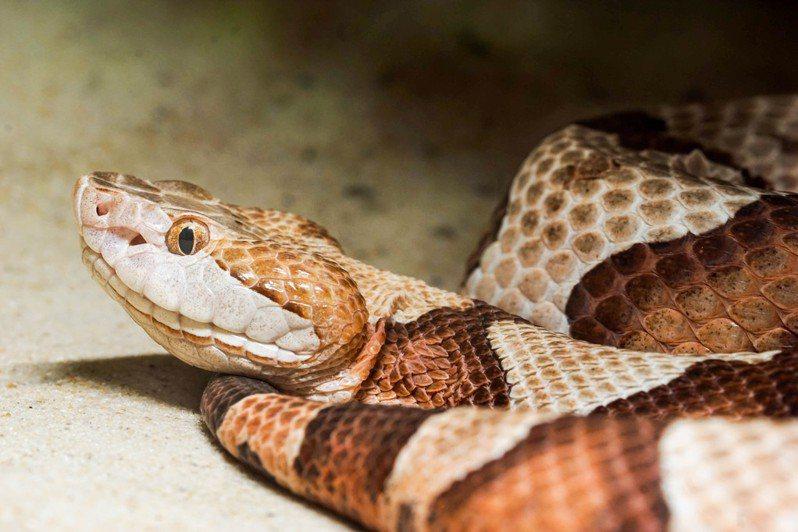 澳洲捕蛇專家在一戶人家屋頂驚見30張蛇皮,推測應該還有至少20張藏在屋頂上。示意圖/ingimage