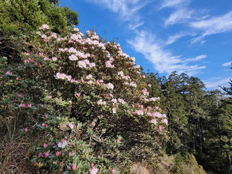 合歡山高山杜鵑花今年大爆發,吸引大批遊客賞花、登山健行。圖/讀者提供