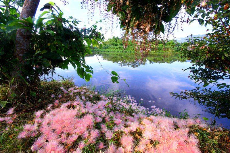 宜蘭五十二甲國家級重要濕地的穗花棋盤腳,非常美麗。圖/王俊明拍攝