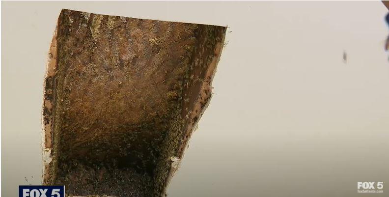 住在美國喬治亞州的女子麗莎.奧蒙德在二○一七年發現家中天花板夾層有十二萬隻蜜蜂築巢,當時已請專人移除,但她近期又發現十萬隻蜜蜂在同樣的地方築巢。圖/擷取自YouTube