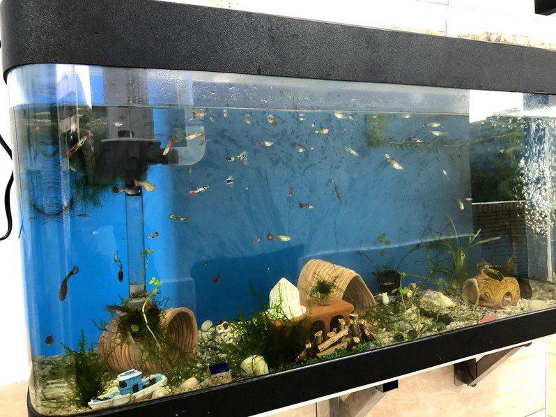 基隆市八斗國小改善廁所環境,融入海洋教育特色,把水族缸安裝在廁所牆面。圖/基市府教育處提供