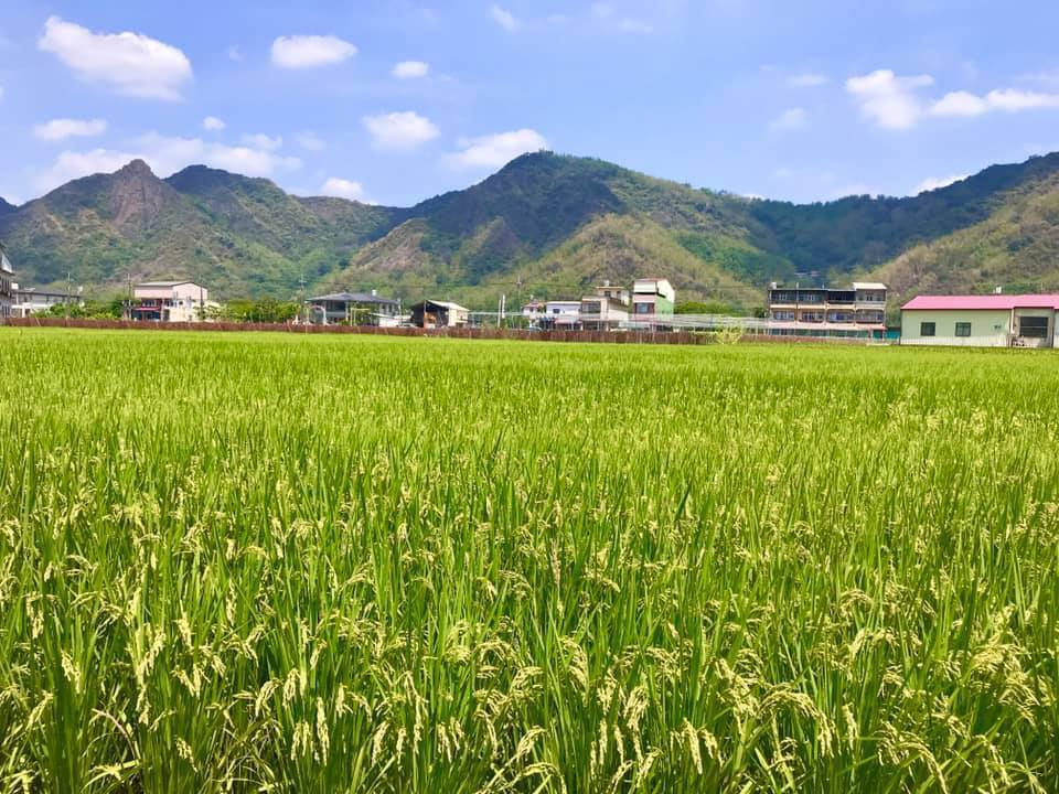 高雄一期稻作即將進入收割期,無須再引水灌溉。記者徐白櫻/翻攝