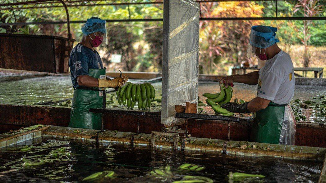 厄瓜多是全球最大香蕉出口國,現在全國為這個最主要的經濟作物高度拉警報,要力阻自鄰...