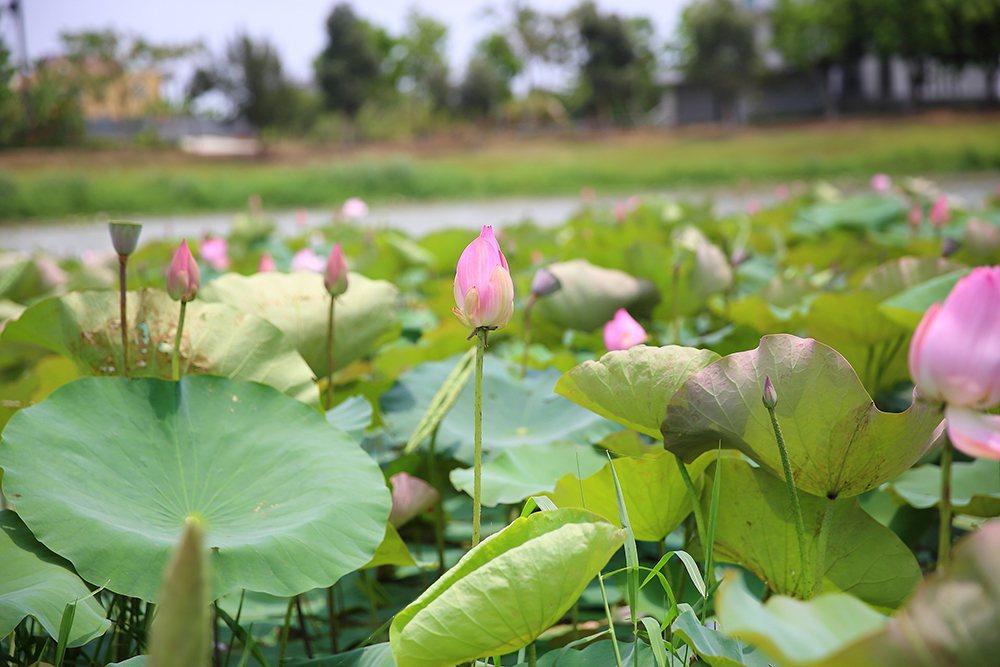 立夏五月天正是荷花季初登場,也是岡山滯洪池的賞花時節。 圖/Carter 攝影