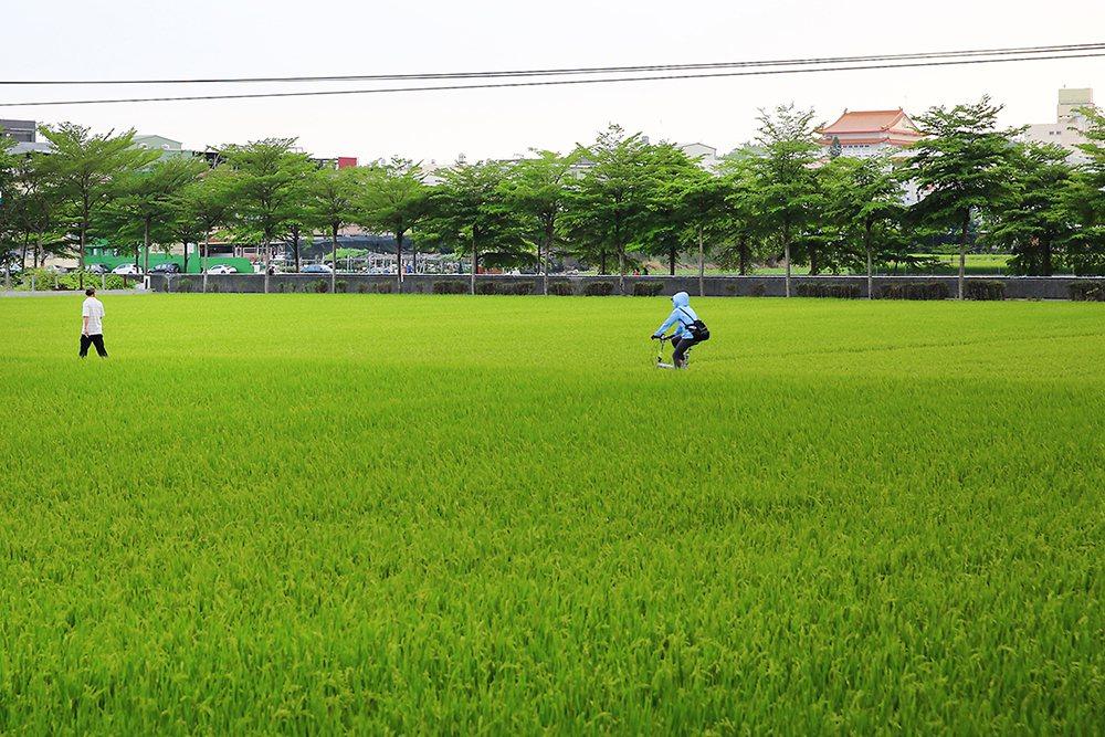 時序進入五月,大寮捷運站稻香大道呈現一片稻浪景觀,田連阡陌綠油油,彷彿遠離都市塵...