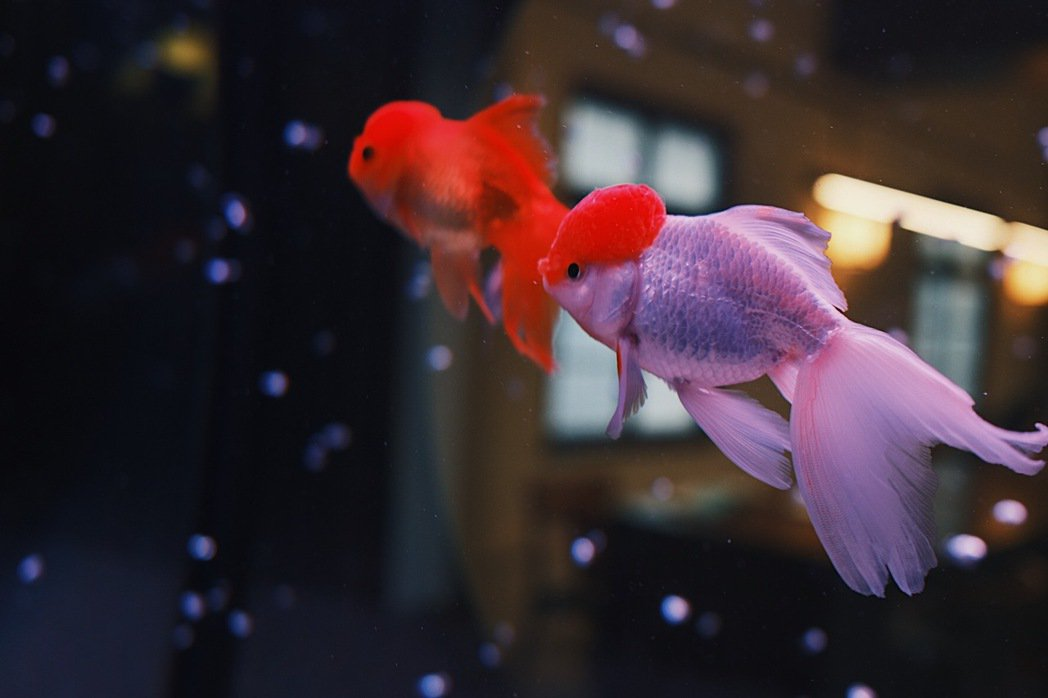 看著魚缸裡的美麗金魚,暫時甩開外界的夏日暑氣。 圖/江佩君攝影