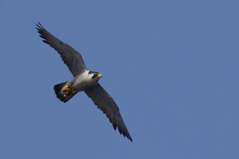 民眾若發現有幼鳥不慎落巢,先不要著急出手幫忙,如有受傷或立即性危險再出手。 圖/基隆鳥會提供