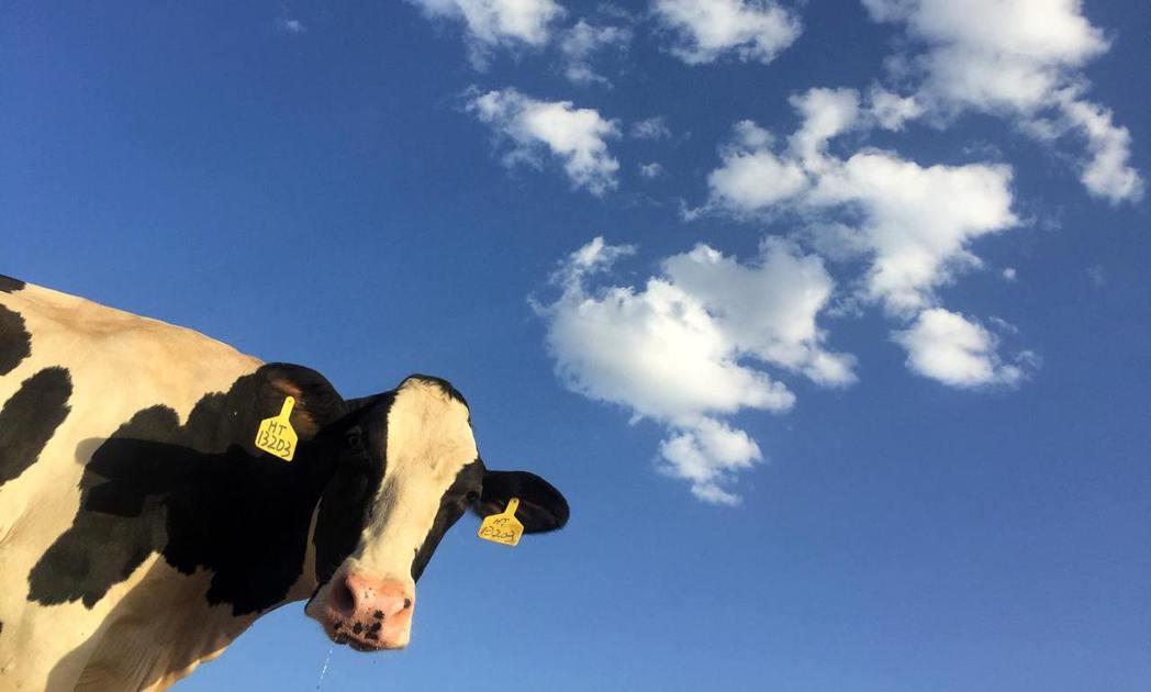 你知道嗎?現在臉部辨識的科技功能已經擴展到畜牧界,透過臉部辨識就能知道牛隻健不健...