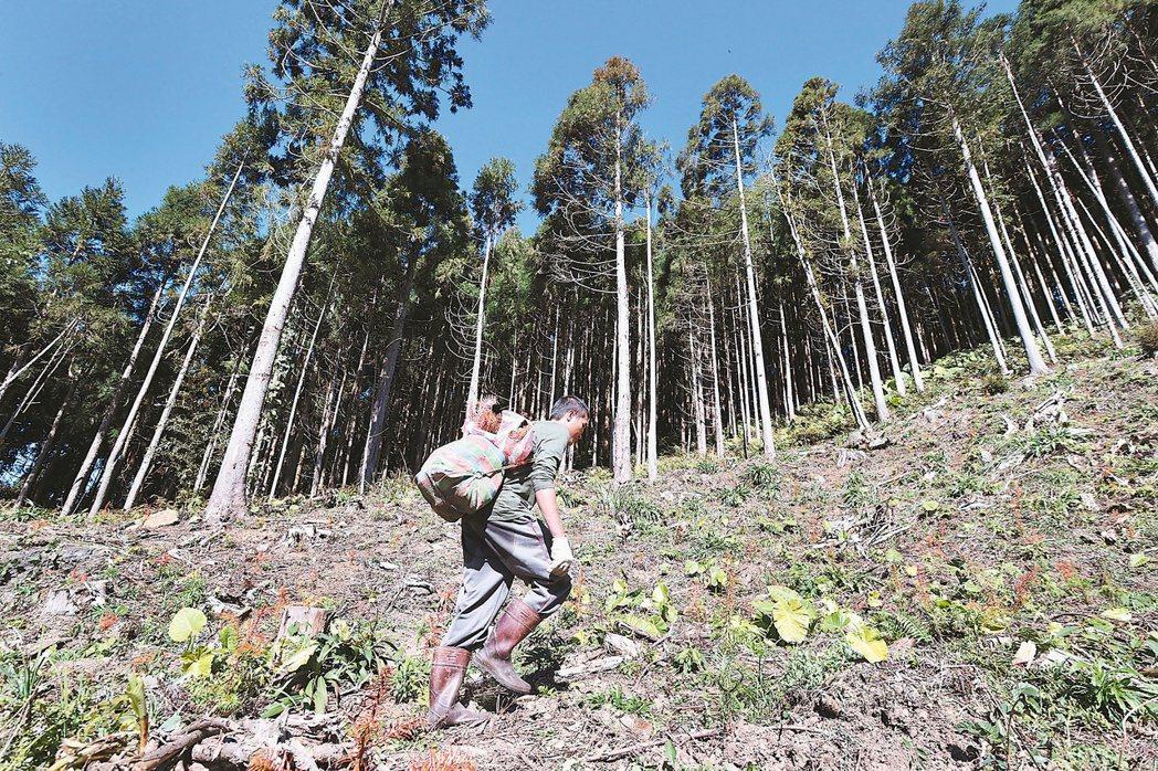 既伐木也種樹 人工林既伐木也種樹,正昌製材造林撫育班,在伐木後種下福州杉,等待卅...