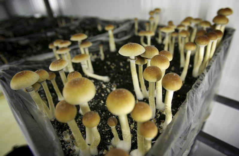 《新英格蘭醫學期刊》的一項研究,指出「神奇蘑菇」中的致幻成分賽洛西賓,有利於治療憂鬱。圖為荷蘭一座農場栽種的神奇磨菇。美聯社