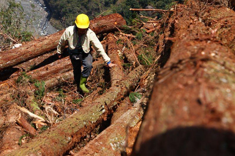疏伐木作業可產生的效益為促進保留木生長、改良林木品質、減少林木相對死亡率,以保持林分的活力及健康狀態,並可提升國產材自給率。 記者黃仲裕/攝影