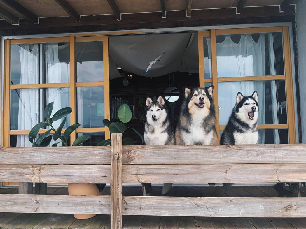 漢堡與五隻狗一起生活。 圖/島民冰狗店提供