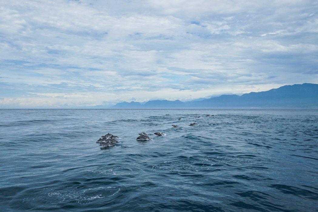在台灣拍攝的弗氏海豚。 圖/金磊攝影