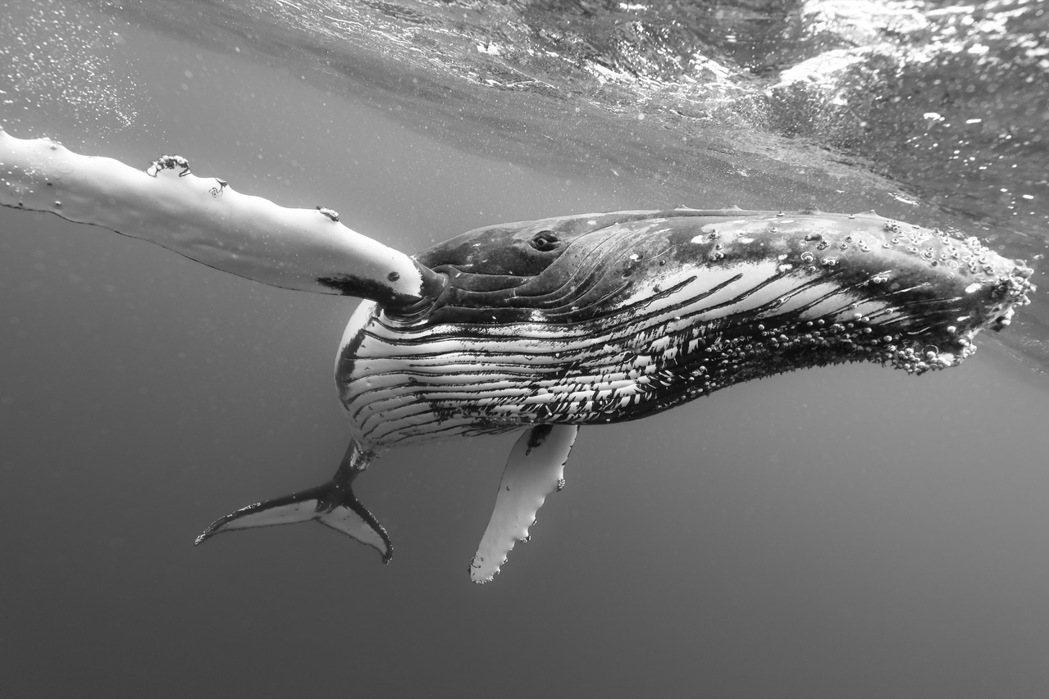 受自然光源的限制,水下攝影工作範圍通常在15米左右。圖為東加的大翅鯨。 圖/金磊...