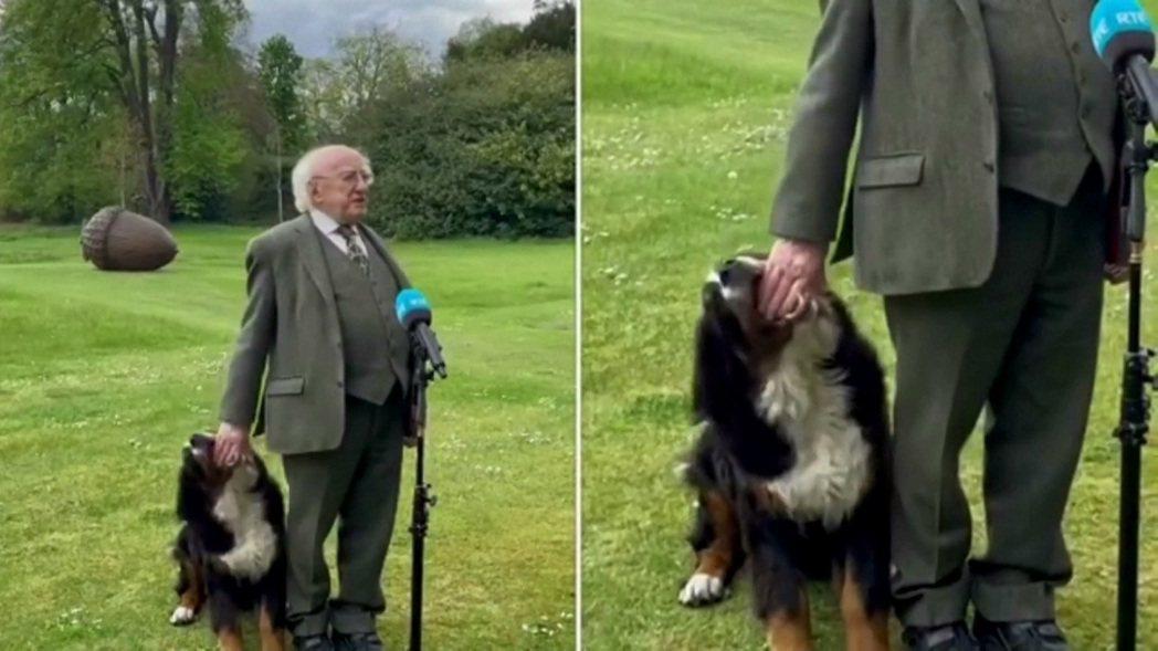 愛爾蘭總統希金斯2日接受採訪,一旁的伯恩山犬「勇氣」顯然對總統的注意力一直不在自...